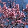 青空に映える陽光桜の画像