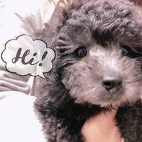 トイプードルの仔犬ちゃん❥❥❥の記事に添付されている画像