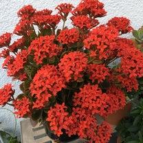 ★Simple! 若月 謙一 Blog   花がいくつも咲き始めたー!の記事に添付されている画像