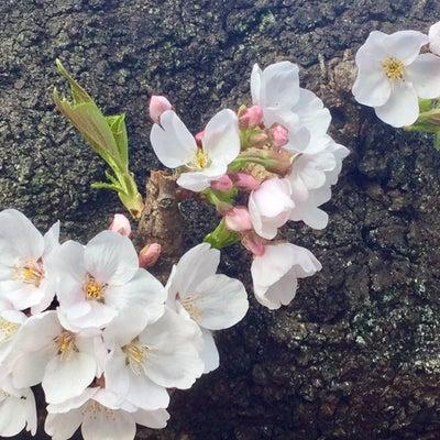二十四節気 七十二候 桜始開(さくらはじめてひらく)の記事に添付されている画像