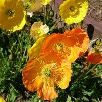 菜の花満開の記事に添付されている画像