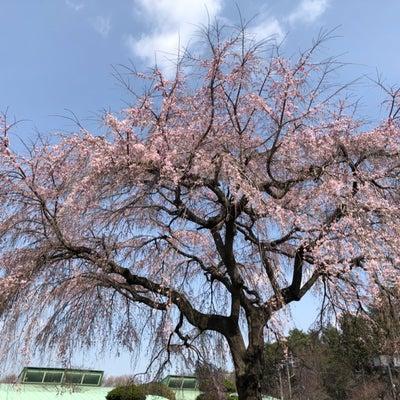 ♪サイボクハムの枝垂れ桜がもうすぐ満開ですの記事に添付されている画像