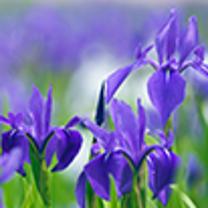 今日の誕生花の記事に添付されている画像