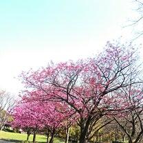 桜前線満開予想日の記事に添付されている画像