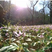 カタクリの花を見てきました。の記事に添付されている画像