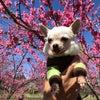 古河市の桃祭りの写真の画像