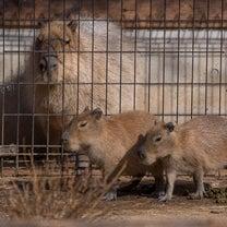 ☆埼玉県こども動物自然公園のカピバラさんたちの記事に添付されている画像