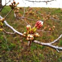 鴨川の桜状況の記事に添付されている画像