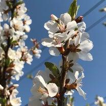 桜はソメイヨシノだけじゃないっての記事に添付されている画像