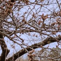 かずみ飯**麻婆豆腐と桜開花宣言の記事に添付されている画像