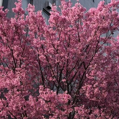 桜の便り 2019 ①の記事に添付されている画像