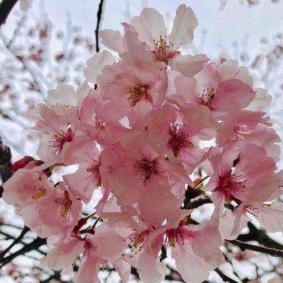 彼岸桜としーくんの記事に添付されている画像