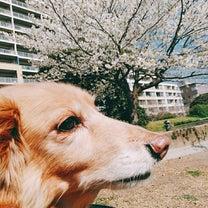 春をお届け♡ベイタウンの桜情報♡の記事に添付されている画像
