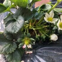 ジャガイモが発芽とうすいえんどうがやばいの記事に添付されている画像