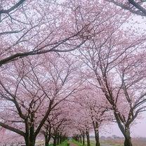 桜の写真。の記事に添付されている画像