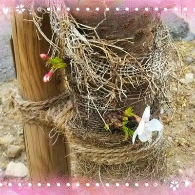 頑張ってる桜が好き!の記事に添付されている画像
