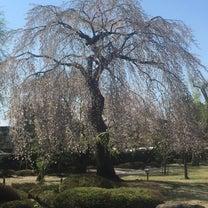 桜の写真、みせて!の記事に添付されている画像