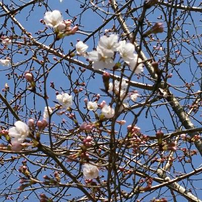 青空の下で桜の花を見た3月26日も、朝夕、桜島を見ました。の記事に添付されている画像
