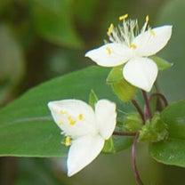 幸福でいるために願い続けていること。誕生花「ブライダルベール」の花言葉の記事に添付されている画像
