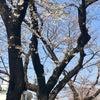 東京の桜その1~オフィス前の桜並木の画像