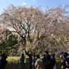 東京の桜その2~六義園のしだれ桜の画像