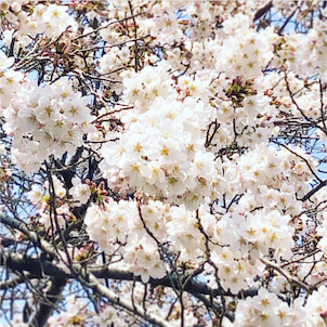 桜もそろそろ満開に❤︎の画像