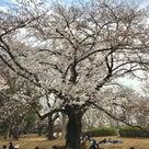 駒沢公園の桜の開花状況・・・7~8分咲き♪の記事より