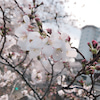 またまた桜の木!花恋の画像