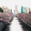 東京の桜その3〜目黒川の桜並木と百段階段の画像