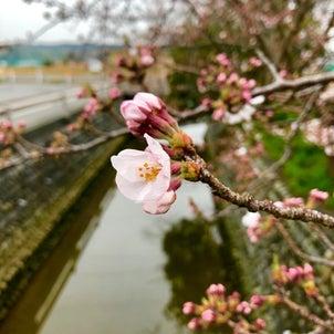 牧之原市桜開花ですね^_^の画像