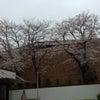 桜を満喫!の画像