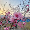そろそろ桃の花の季節の画像