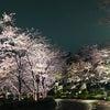 東京の桜その5〜東京ミッドタウンの画像