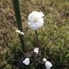 ハナモモ、二度目の春の画像