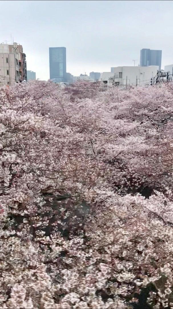 ☆今朝の目黒川 桜☆
