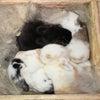 茨城県水戸市にあるウサギ販売店「プティラパン」 ホーランド・ロップ『ラテ』ベビー 3/21生②の画像
