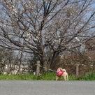3月27日の散歩ですよ~♪の記事より