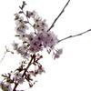 2019年 【平成最後】 の春 「桜」の画像