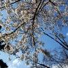 3/31(日)  花見でいっぱいの画像