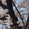 桜いろいろの画像