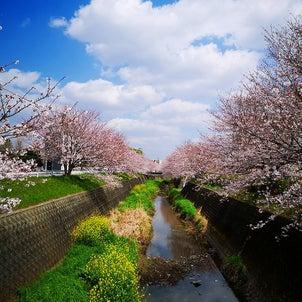 桜が咲き始めたらの画像