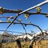 梨の芽欠きの画像