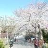 衣笠山の桜が満開の画像