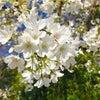 この白い桜に会いに行くの画像
