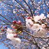 平成最後の桜の画像