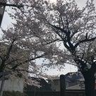 桜満開の記事より