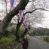 桜の下を散策 of 一番館の画像