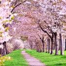 葬儀ナレーション実例文「桜」の記事より