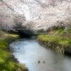 春爛漫の桜旅 桜名所を観る「鴻巣偏」の画像