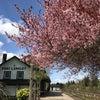 バンクーバーも桜がキレイです!の画像